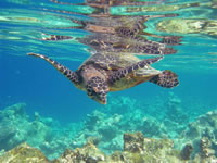 tortue_imbriquee_02_jpg
